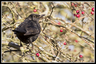 IMG_0001 Blackbird