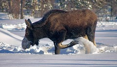 I'm cold and hungry . . . (JLS Photography - Alaska) Tags: alaska animals animal wildlife moose alce alces jlsphotographyalaska snow wilderness winter winterlandscape landscape nationalgeographicwildlife