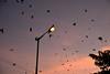 Ants, birds and the streetlight (sanat_das) Tags: kolkata barakhola birds twilight dusk streetlight flyingants eveningsky crescentmoon d800 50mm