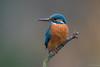 Kingfisher (jacobsfrank) Tags: kingfisher ijsvogel vogel bird orange blauw oranje bleu flickr frankjacobs jacobsfrank nikon nikond5 nikond500 belgie belgium kalmthout