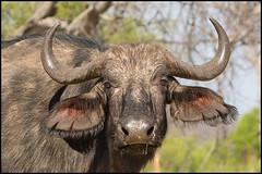 African Savannah Buffalo (John R Chandler) Tags: africansavannahbuffalo animal buffalo capebuffalo hwangenationalpark mammal matabelelandnorthprovince synceruscaffer zimbabwe zw