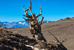 Spirit of Methuselah (chasingthelight10) Tags: events photography travel landscapes forests mountains nature sunrises sunrise places california independence whitemountains bristleconepineforest sierranevada