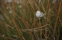 petit cracha de neige dans les herbes (bulbocode909) Tags: valais suisse nature herbe neige vert automne jaune orange
