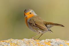 JWL5114  Robin.. (jefflack Wildlife&Nature) Tags: robin birds avian animal animals wildlife wildbirds wetlands woodlands parklands gardenbirds songbirds countryside copse heathland hedgerows moorland marshland meadows nature coth5 ngc
