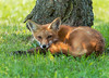 Red Fox Kit (KvonK) Tags: redfox kit wild nature kvonk 2014