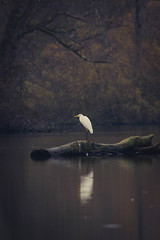 Perché (N'Grid) Tags: aigrette egret bird nature wild wildlife sauvage canon ii 7dmkii 7dmk2 sigma 150600 contemporary sigma150600mm sig sigma150600 sigma150600mmcontemporary waterbird sombre relection reflet water river riviere lorraine france