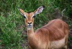 NABI (Brook-Ward) Tags: hdr brook ward nabi impala animal south africa kruger national park holiday vacation travel lookingatyou