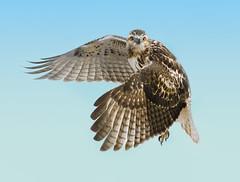 Juvenile Redtail Hawk (rhershow) Tags: ibsp