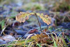 Noor tammeke (Jaan Keinaste) Tags: pentax k3 pentaxk3 eesti estonia loodus nature tamm oak sügis autumn