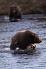 Siblings (wyrickodiak_9) Tags: kodiak alaska brown bear grizzly sow cubs fishing river island mammal wildlife apex predator