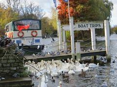 swans n pidgeons (dramakarmar) Tags: swan pidgeon river windsor boat boattrip water thames lifebelt wharf pier ferry flag redduster mallard seagull jetty tree post rails