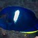Keyhole Angelfish - Centropyge tibicen