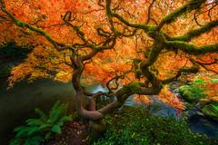 The Crooked Beauty in Autumn - 4876 (J & W Photography) Tags: 2017 autumn fall fallcolor jwphotography japanesegarden japanesemaple kubota kubotagarden pacificnorthwest seattle washington creek landscape northwest