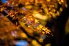Glorious Days (moaan) Tags: ernestleitzwetzlarsummarexf85cm kobe hyogo japan jp maple mapleleaves japanesemaple momiji autumn autumncolors autumnleaves fall fallcolors fallfoliage yellow goldenyellow dof depthoffield bokeh bokehphotography nature naturephotography leica leicaphotography leicamp type240 summarex 85mm f15 leicasummarex85mmf15 utata 2017