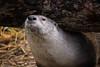 River Otter (Jon David Nelson) Tags: lontracanadensis northamericanriverotter riverotter otter wildlife oregon highdesert bendoregon conservation education