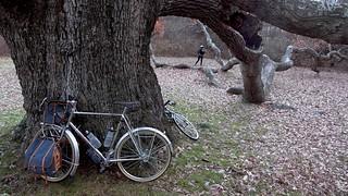 Oak of my dreams
