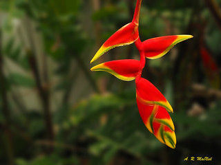 Hanging Heliconia - Ka'anapali, Maui