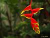 Hanging Heliconia - Ka'anapali, Maui (Barra1man (Very, Very Busy)) Tags: hangingheliconia hanging heliconia lobsterclaws garden red foliage plants tropical flower tropicalflower kaanapali maui hawaii unitedstates olympus olympusem1 iso800 lens300mm f561500 parrotflower heliconiarostrata
