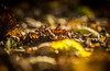 The Fallen (Captainchaoz) Tags: extreme shallow depth field from soligor 135mm 28 t2 vintage lens woodland floor leaves bokeh