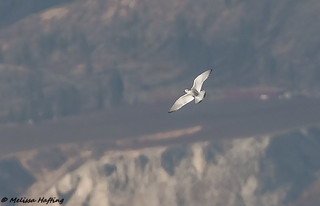 Record shot of an Immature Little Gull - Penticton, BC