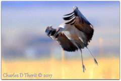 All Wrapped Up (ctofcsco) Tags: 7d canon colorado explore northamerica usa bird grass landing flight flying esplora explored eos renown pretty pic photo digital f56 800mm iso250 11600s ef400mm f28l ii usm 20x canoneos7d ef400mmf28liiusm20x