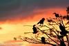 Morning Kiss (BobHartmannPhotography) Tags: hartmann landscape swr bobhartmannphotography bobhartmanncom wakodahatcheewetlands wildlife wwwbobhartmanncom c2017bobhartmann bobhartmann everglades 1365 365 wl birds fl usa