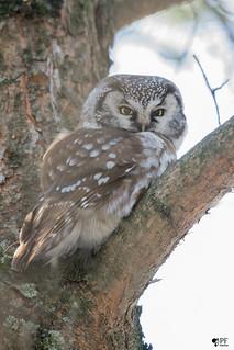 ''The Gentleman!'' Nyctale de tengmlam-Boreal Owl