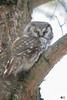 ''The Gentleman!'' Nyctale de tengmlam-Boreal Owl (pascaleforest) Tags: hibou owl bird oiseau animal nature nikon passion wild wildlife faune québec canada fall automne