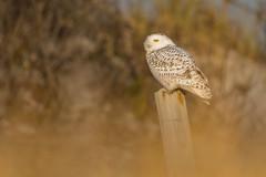 a Snowy Perch (PhillymanPete) Tags: arctic buboscandiacus beach wildlife owl nature bird birdsofprey snowyowl raptor sand perch nikon d500