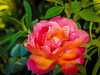 Rose in the evening light (randyherring) Tags: california losgatos light nature macro beauty rose flower love floral color beautiful plant summer romantic blossom petal closeup bloom natural flora blooming outdoors gardening beautyinnature