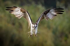 Final Thoughts (gseloff) Tags: osprey bird flight bif landing wildlife nature mudlake armandbayou pasadena texas kayakphotography gseloff