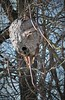 IMG_1378 (Mat_B) Tags: fel pro rrr forest preserve nature walk natural photography winter 2017 wasp hornet nest wood paper abandoned blue sky insect