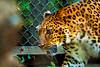 Amur leopard (Dakiny) Tags: 2017 autumn october japan kanagawa yokohama asahiward park city street outdoor zoo yokohamazoologicalgardens zoorasia creature animal mammal nikon d750 sigma apo 70200mm f28 apo70200mmf28exdgoshsm sigmaapo70200mmf28exdgoshsm nikonclubit
