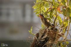 011_MG_2758_Resize (Writer,Thai Photographer) Tags: ป้อนอาหาร หาอาหาร นกปลอดสวน แม่นก พ่อนก ลูกนก ผลไม้ นก feeding lifecycle streakearedbulbul