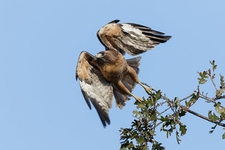 Red tail Takeoff