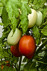 On the vine (BethAnnKY) Tags: tomatoes leaves vines garden backyard homegrown healthy natural nutritious organic orangegreen groups clusters food vegetable fruit water droplets rain