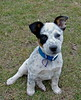IMG_0644 (Morglen) Tags: cutecattledogpup dog pet clever obedient watchdog