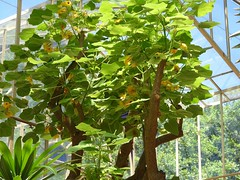胡麻科 Uncarina peltata  大葉艷桐草  大葉黄花胡麻 Mouse Trap Tree / Succulent Sesame  / Malagasy Fire Bush 鉤刺麻屬 (Sheila's collection) Tags: succulent sesame pedaliaceae 胡麻科 mouse trap tree malagasy fire bush 大葉艷桐草 大葉黄花胡麻