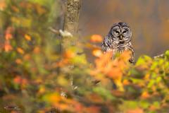 Autumn Barred (Khurram Khan...) Tags: barredowl birdsofprey wildlife wildlifephotography wild nikonnofilter iamnikon khurramkhan wwwkhurramkhanphotocom birds fall autumn trees sunset nikond850