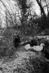 IMG_2017_12_02_00494 (gravalosantonio) Tags: patos animales aves anades blanco y negro huerto ecologico jaca spain huesca pirineos
