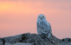 Snowy Owl in the Sunset (imageClear) Tags: owl snowy snowyowl nature migration wildlife lovely sunset twilight color boulders breakwater marina sheboygan wisconsin nikon aperture d500 80400mm imageclear flickr photostrea