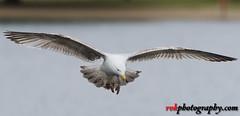 Wildlife in England (rvk82) Tags: 2017 birds england hydepark london may may2017 nikkor70200mm nikon nikond500 rvk rvkphotography raghukumar raghukumarphotography wildlife rvkonlinecom rvkphotographycom unitedkingdom gb