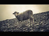 le mouton (vincenadmath) Tags: vincenadmath mouton montagne ventoux seu sauvage regard