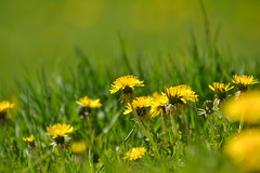 Delightful Dandelions (Vegan Butterfly) Tags: outside outdoor edmonton alberta park summer flowers dandelions yellow