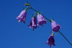 ツリガネニンジン Ladybells (takapata) Tags: sony sel90m28g ilce7m2 macro flower nature