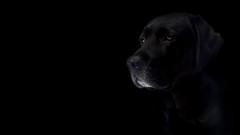 Asta (A Edvall) Tags: dog pet animal portrait hund husdjur djur porträtt labrador retriever sverige sweden svart black