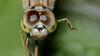 Don't shoot!!! (chandra.nitin) Tags: animal deerpark dragonfly insect macro nature newdelhi delhi india