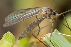 Mückenalarm (Reinhard Schulz) Tags: mücke stack canon80d sigma105mmmakro