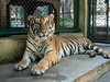 Eyes of the Tiger (mattybecks3) Tags: asia chiangmai thailand travel tambonmaeraem changwatchiangmai th ngc nat geo