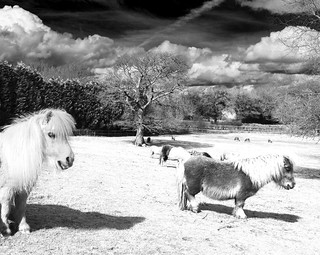 Fake News - Miniature Ponies in winter wonderland